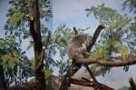 De koala krabt zich!