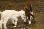 Schattige baby geitjes