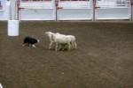 De schapenhonden