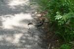 De kouseband slang