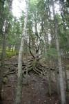 Een 300 jaar oude boom